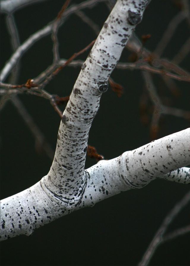 Birch tenicles, Three Pond Park