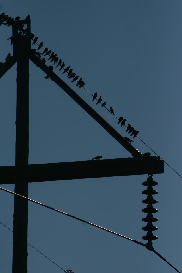 Birds on transmission wires, Baker Park 002