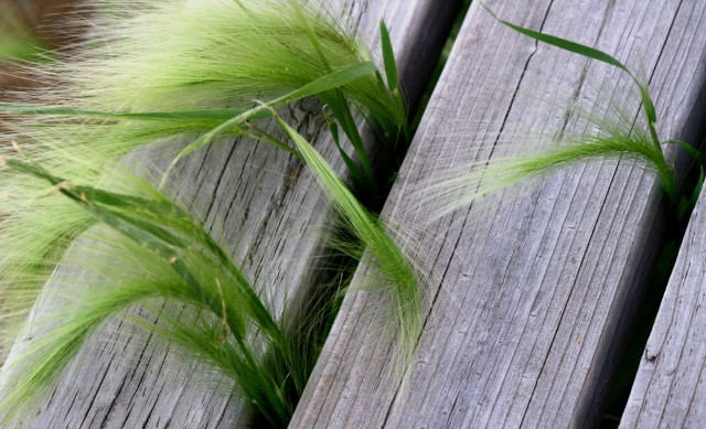 Board Grass, Gen Mills Nature Perserve
