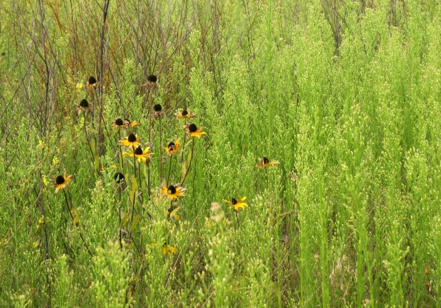 A group of sagging sunflowers, River Terrace Prairie SNA