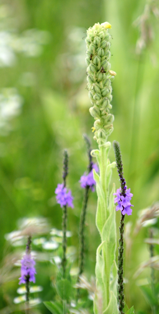 A shot of the Mullein plant 003