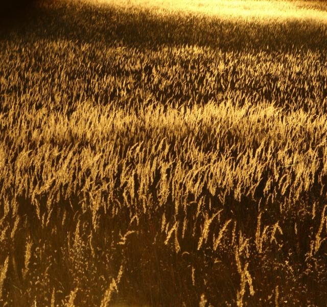 Amber fields of grain, Crow Hassan