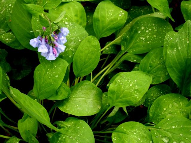 April flower and water droplets, Eloise Butler WGdn #1
