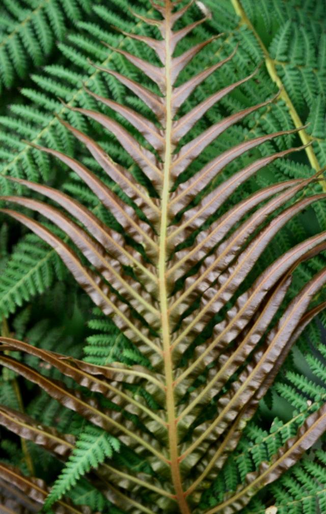 Dark maroon fern leaf against green ferns