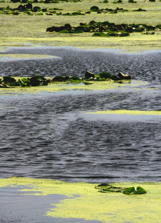 Alternating bands of duckweed, water and lilies Normandale Lake