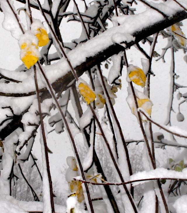 Apple tree leaves smothered 006
