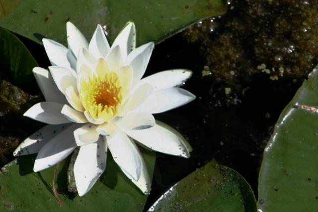 Aquatic bloom at Lake Camelot #1