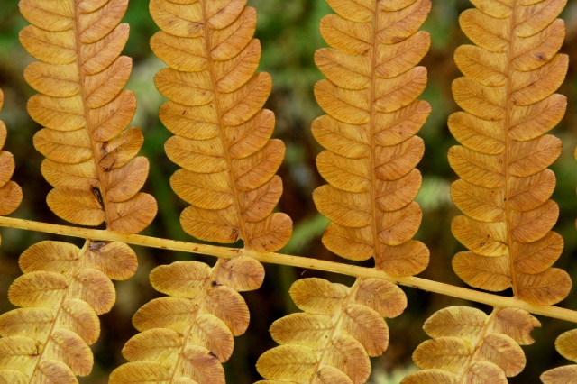 As the Fall Ferns