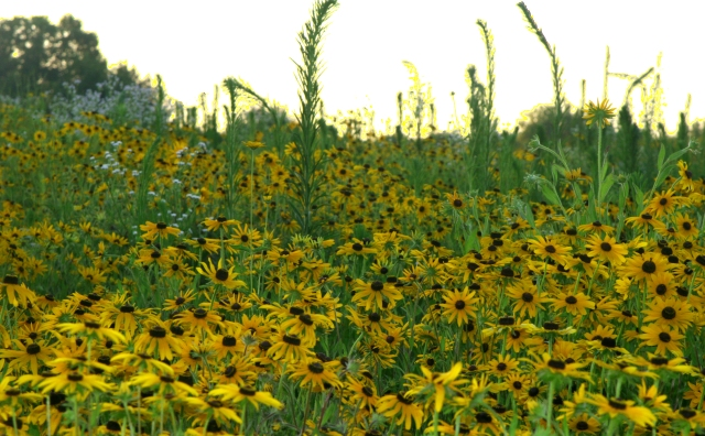 Backlit field of flowers #2