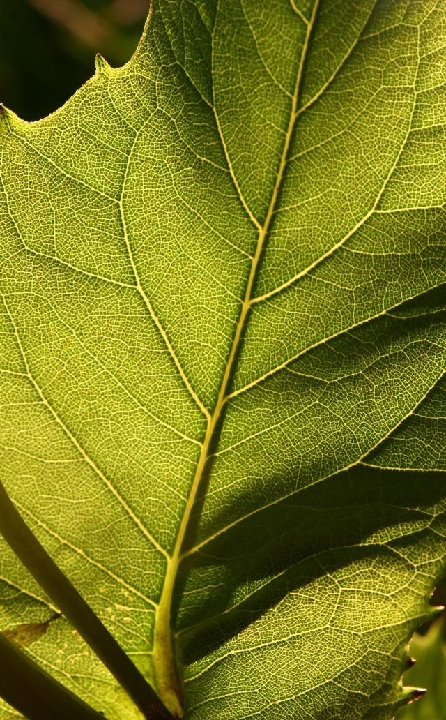 Backlit leaf, Millenium Grdn Plymouth