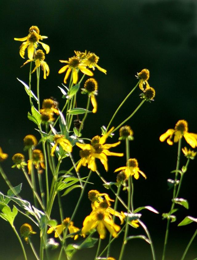 Backlite sunflowers, ERC #1
