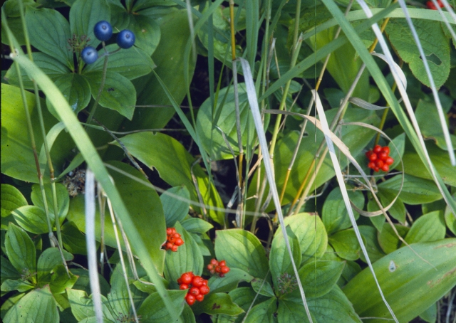 Berries, leaves and blades oh my Goosebry Falls SP