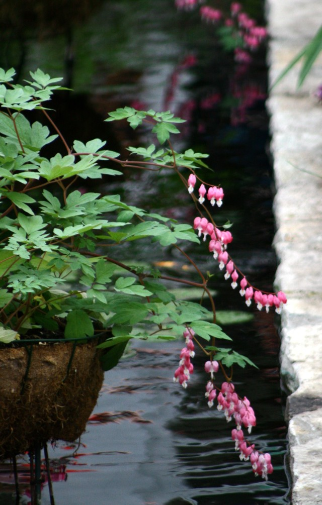 Bleeding hearts and dark water, Como Conservatory