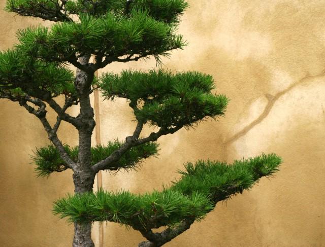 Bonsi evergreen against stucco wall, Como Conserv 0023