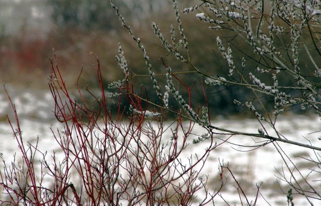 Buds and branches with a surprise snow fall