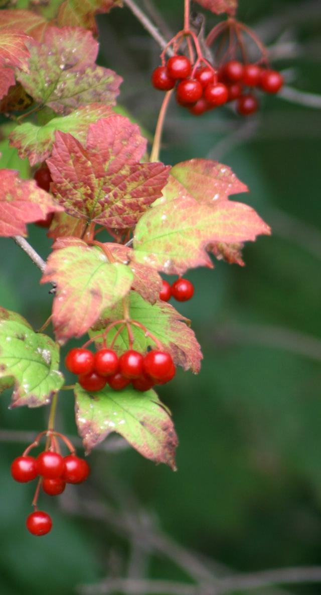 Cascading berries, Silverwood Reg Park