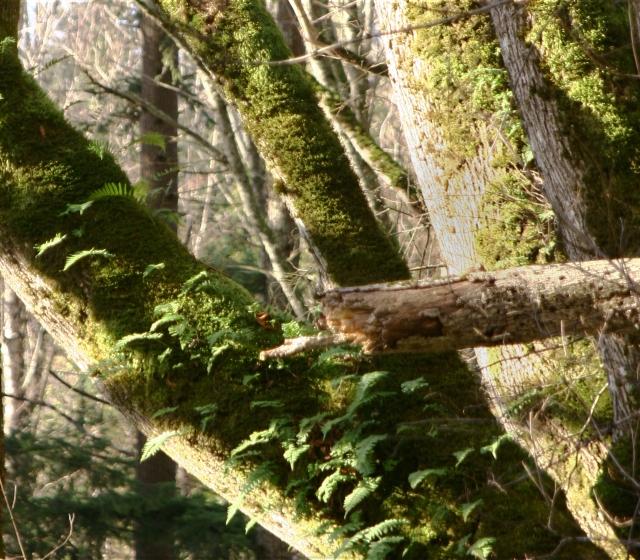 Moss covered trees, Bellingham WA 003