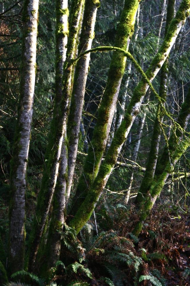 Rain Forest scenic, Bellingham WA 002