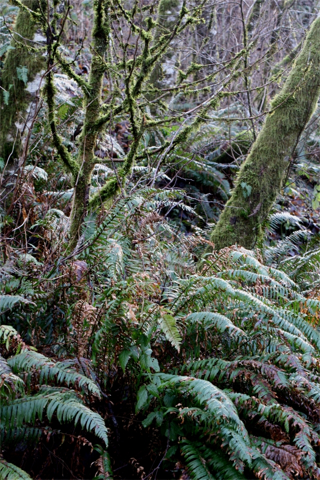 The rain forest of the NW in winter, Bellingham WA