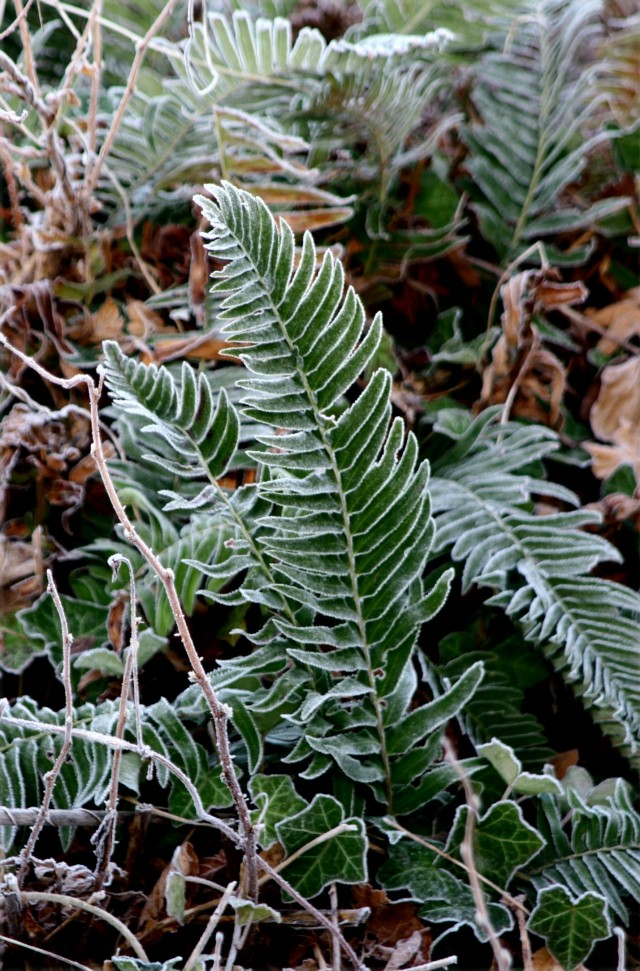 Ferns and frosted edges, Stanley Island, Vancouver