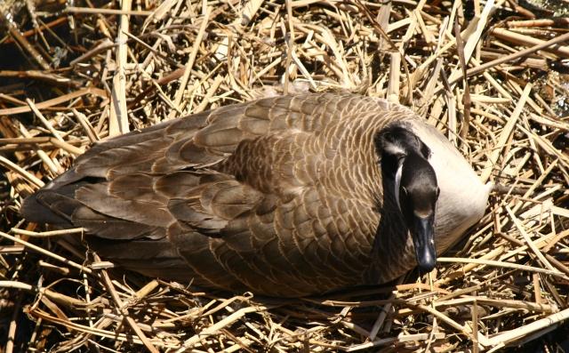 Birds eye view of Canadian Goose
