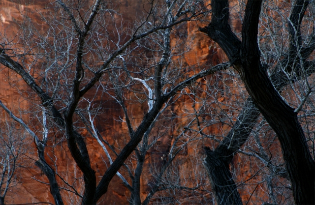 Hot and cold, trees contrasted against red cliffs in pm sun, Zion Canyon NPk