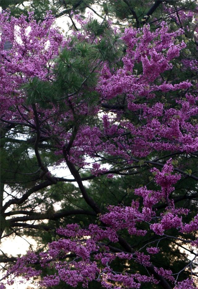 Purple passion among the evergreens,UW Madison