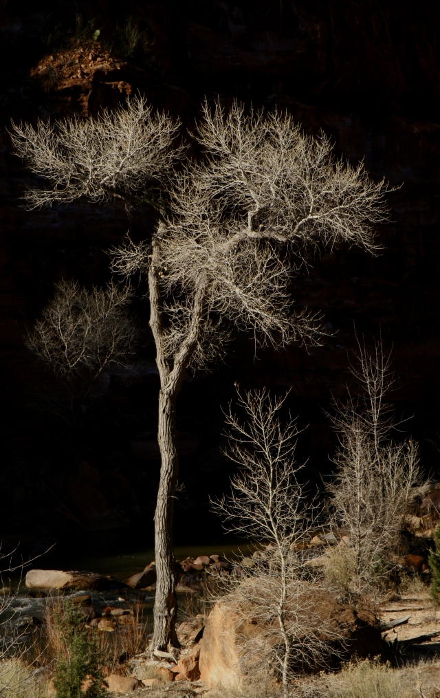 Shiny branches of trees along Virgin River, Zion Natl Park Darker version'