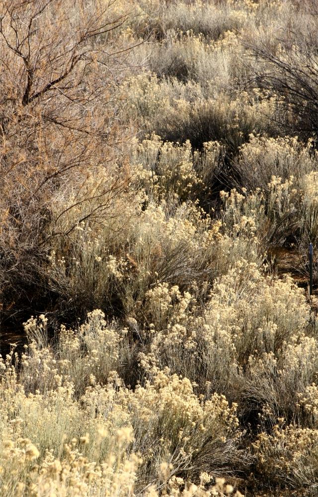 Winter floral in SW Utah 002