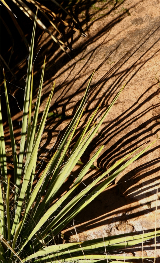 Yucca and its shadows