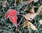 Frosted edges, maples leaves and grass