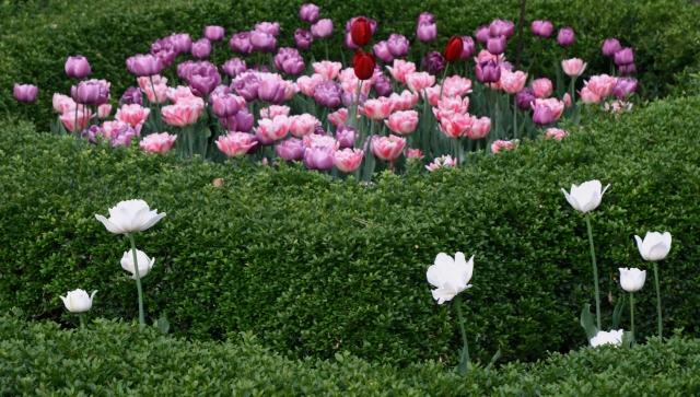 Embedded tulips 002 - Allen Cencenntial Garden