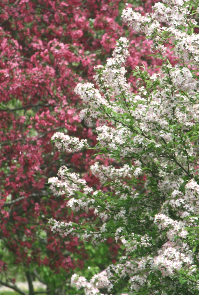 Pink and white blossom blend, Madison Arboretum