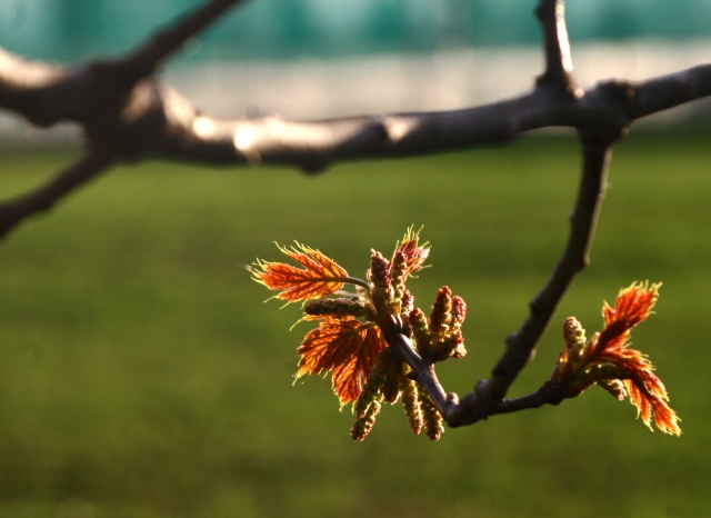 Red buds of Spring, Wayzata HS