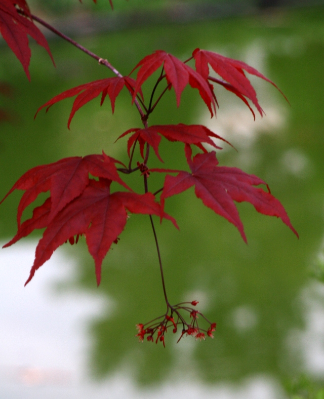 Red maple leaves, Allen Cencenntial Garden