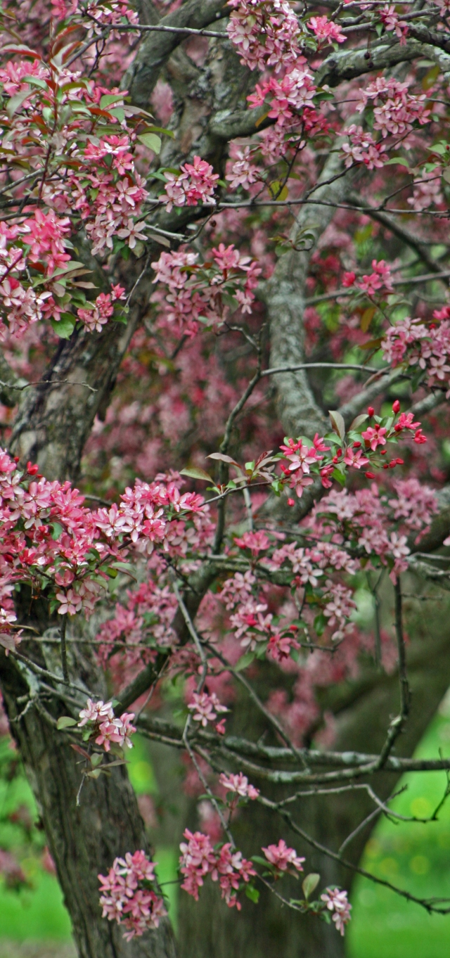 Think Pink 002, Madison Arboretum