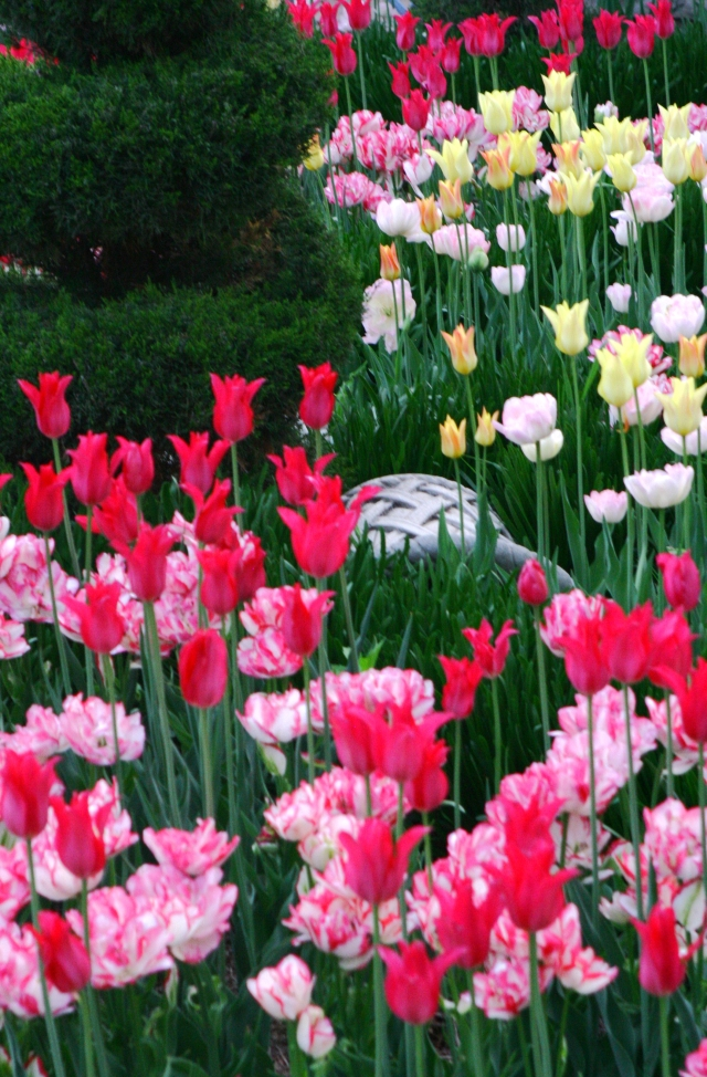 Tulip Assortment,  Allen Centennial  Garden 002, UW Madison