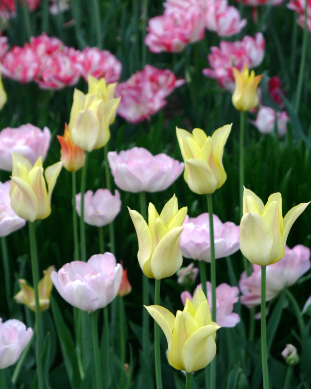 Tulip Assortment,  Allen Centennial  Garden, UW Madison