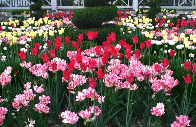 Tulip spread