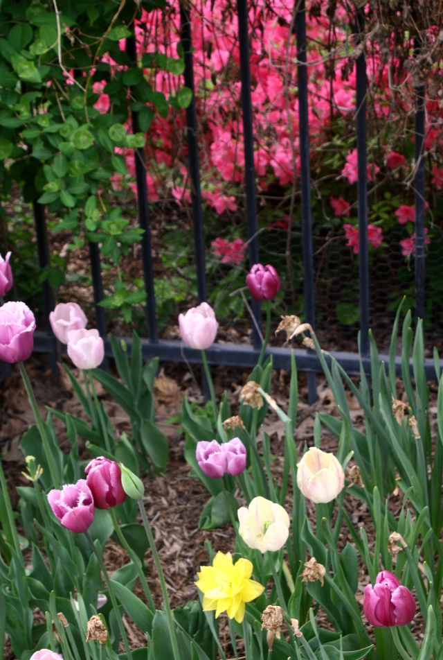 Tulips and pink blooms, UW Madison campus