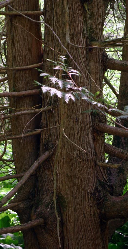 Bark and branch study, Parfrey's Glen 002