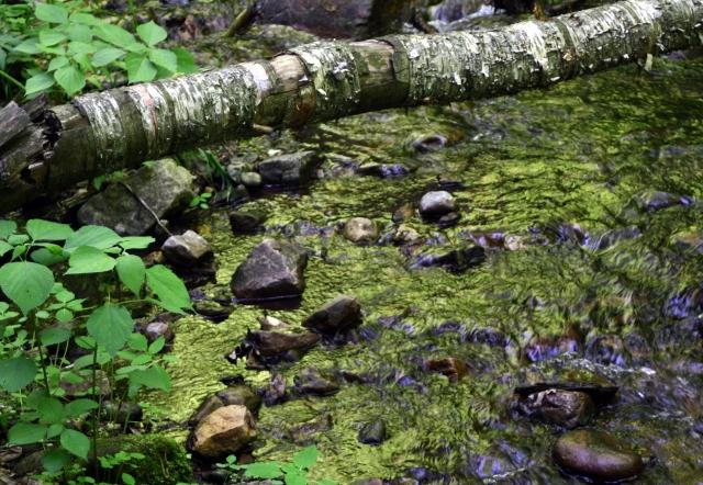 Birch over emerald stream, Parfrey's Glen
