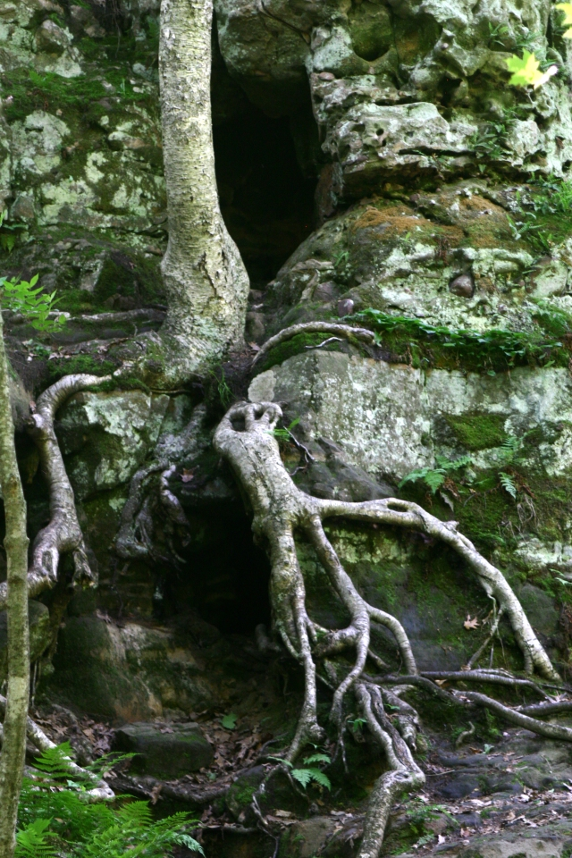 Roots and trunk embedded in rock walls, Parfrey's Glen 002