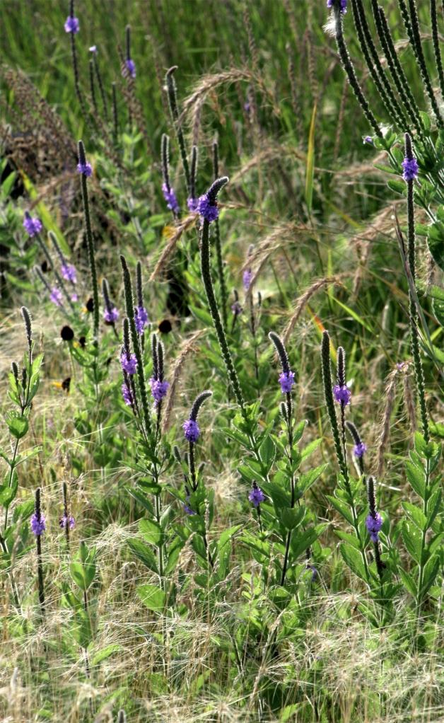 Prairie study, grasses, purple prairie clover,  Gen Mills Nat Reserve