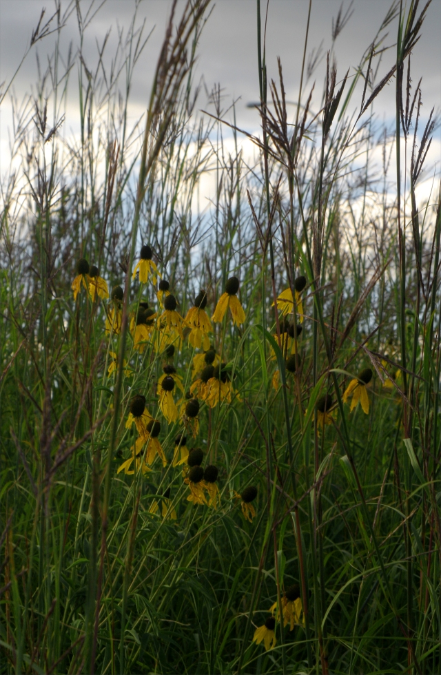 Sunflowers in the tall grass 002 Gen Mills NatReserve