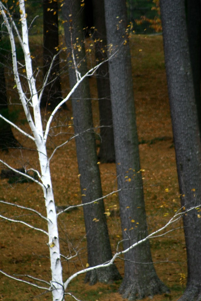 Birch brightens a gloomy fall day, near Pittsfield, MA