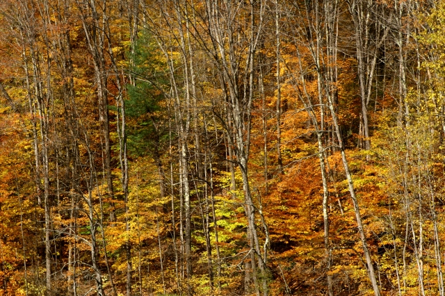 Forest of yellow, Berkshires 002