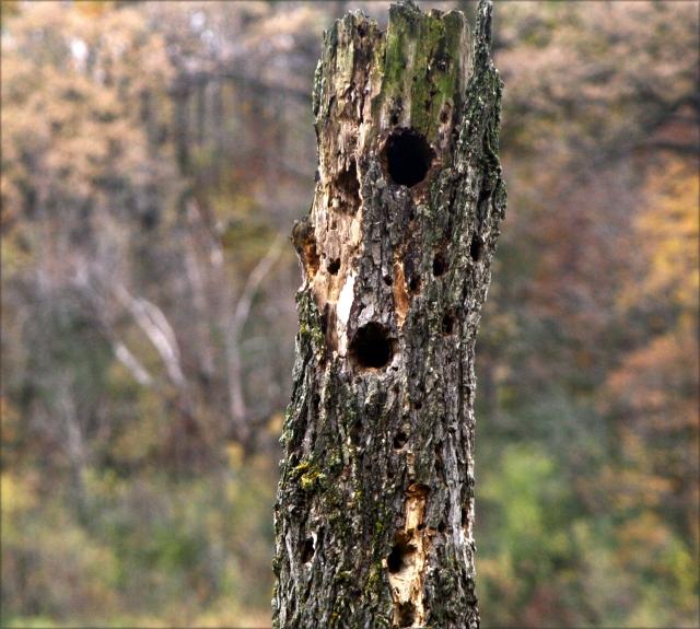 Holes in dead truck, Wolsfeld Woods SNA