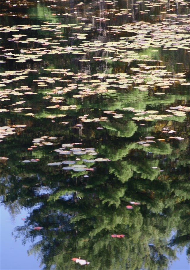 Lily pads and evergreen reflection, MA