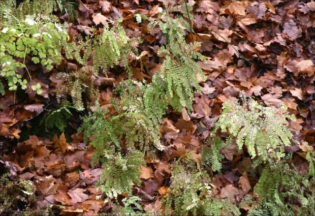 Maiden Hair ferns Wolsfeld Woods SNA 002